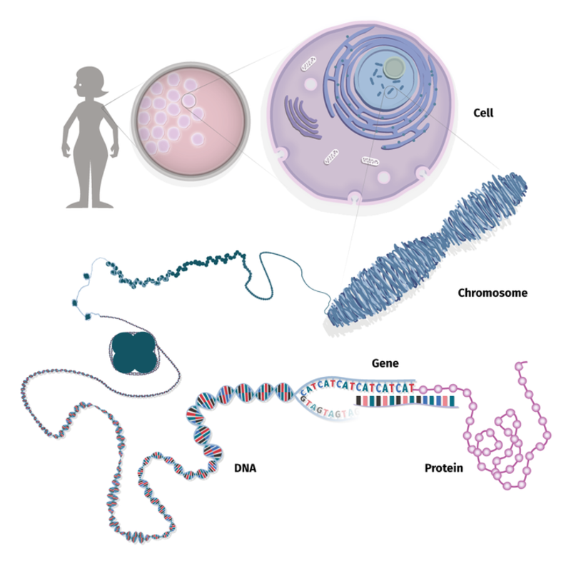 Almost all of the body's trillions of cells contains a complete copy of a person's DNA information, packaged within thread-like structures called chromosomes. Within a chromosome, DNA is wound tightly around proteins called histones.
